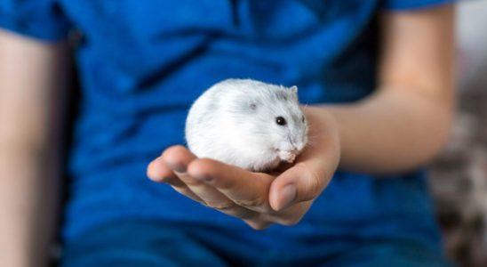 hamsteri de casa